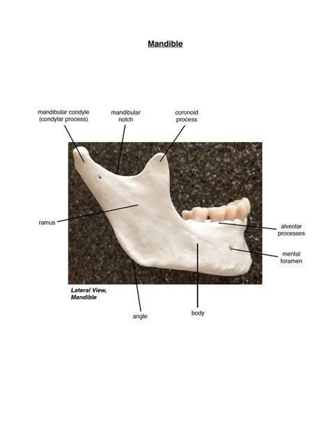 skeletal axial slcc anatomy