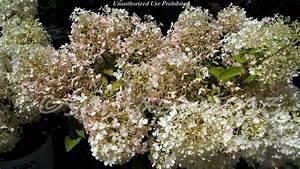 Hydrangea Paniculata Bobo : plantfiles pictures panicle hydrangea tree hydrangea ~ Michelbontemps.com Haus und Dekorationen