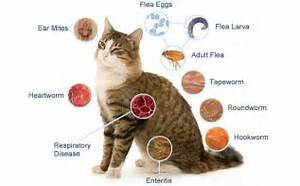 Cat diseases Cats, Infections from