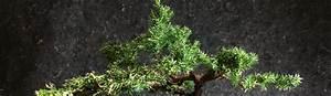 Bonsai Arten Für Anfänger : bonsai baum arten i ~ Sanjose-hotels-ca.com Haus und Dekorationen
