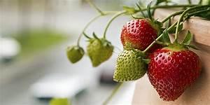 Erdbeeren Pflege Balkon : erdbeeren auf dem balkon standort pflege pflanzen ~ Lizthompson.info Haus und Dekorationen