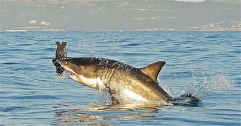 shark attacks fatal  truth  youre