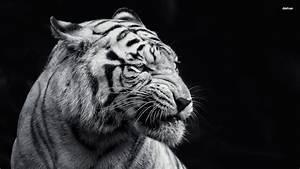 White And Black : black and white tiger wallpaper wallpapersafari ~ Medecine-chirurgie-esthetiques.com Avis de Voitures