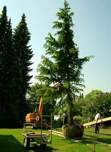 Gartengestaltung Unter Bäumen : xxl b ume vom baumschulen fachbetrieb b ume in xxl gartengestaltung mit edlen b umen und mehr ~ Yasmunasinghe.com Haus und Dekorationen