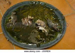 Ratte Im Haus : ratte im kleber aufkleben die mausefalle ich stockfoto bild 146546361 alamy ~ Buech-reservation.com Haus und Dekorationen