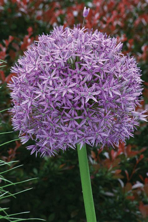 33 best bulbs to plant in fall for flowers to