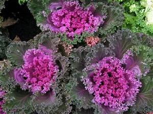 plantes de chou decoratifs vendus en floride article With les couleurs qui se marient 15 choux brassica oleracea