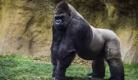 Silverback Gorilla Fighting Lion