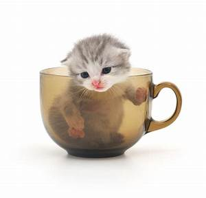 Baby Kittens In A Cup | www.imgkid.com - The Image Kid Has It!