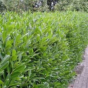 Arbuste Feuillage Persistant Croissance Rapide : les lauriers le blog d 39 glantine lilas nalge ~ Premium-room.com Idées de Décoration