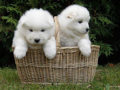 Best 25 Siberian Samoyed Ideas On Pinterest Adorable