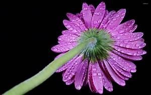 Water drops on a purple gerbera wallpaper - Flower ...
