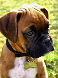 9737 best Crazy Boxers images on Pinterest | Boxer dogs ...