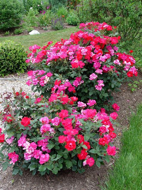 shrub roses rose knock out r garden housecalls