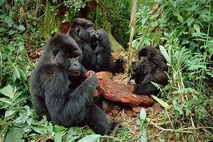 Mountain Gorilla Group Eating Photograph by Gerry Ellis