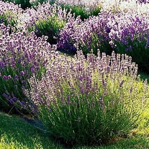 Plant De Lavande : fleurs et plantes pour balcon petit jardin et toit terrasse ~ Nature-et-papiers.com Idées de Décoration