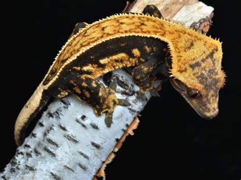 Halloween Crested Gecko Morph harlequin crested gecko www pixshark com images