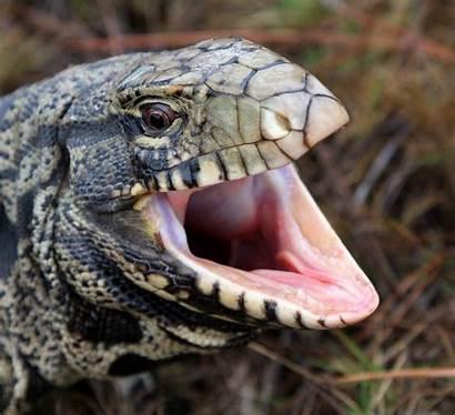 Tegu Lizard Giant Carolina South Invaders Georgia