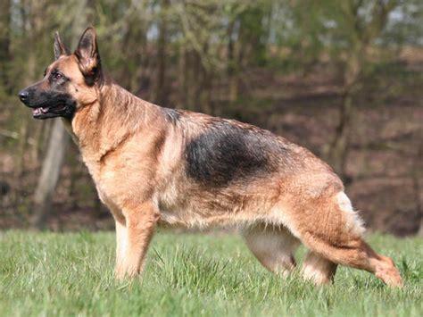 berger allemand chien et chiot german shepherd berger alsacien deutscher sch 228 ferhund wamiz