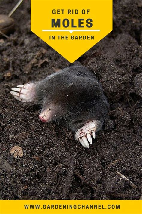 getting rid of moles get rid of moles in the garden