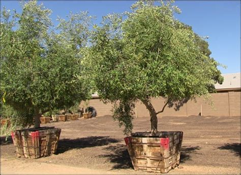 fruitless olive trees for sale fruitless olive trees
