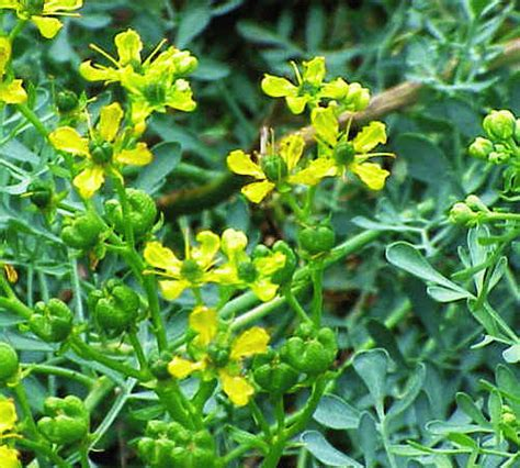 rue plants rue plant pictures meanings of rue plants