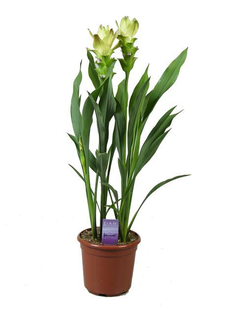 siam sitrone curcuma pot plants kp