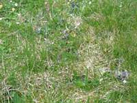 Im Rasen Kreisförmig by Garten Rasen Hexenringe Rasen Krankheit Pilz