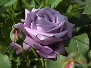 Mainzer Fastnacht Rose : tantau liveinternet ~ Orissabook.com Haus und Dekorationen