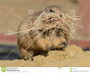 stock photo prairie dog nest building image