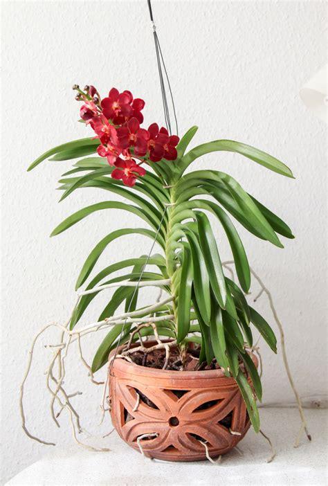 vanda orchidee pflege vermehrung majas pflanzenwelt