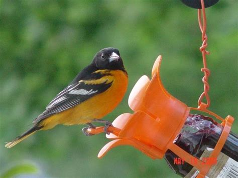 baltimore oriole  jelly feeder birds animals bird