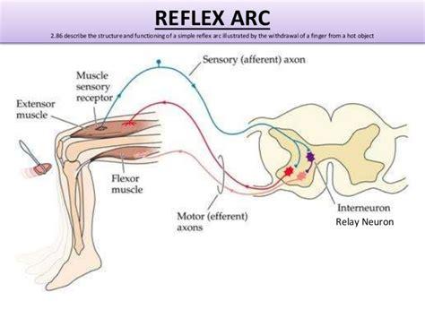 Diagram A Reflex Arc by Igcse Biology Edexcel 2 77 2 90