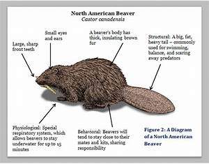 Beavers - What Is The Beaver