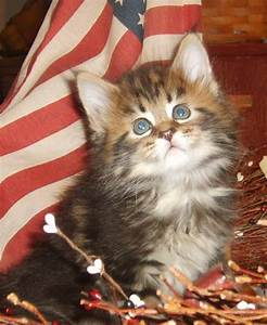 barn cat classic maine coon cats and kittens With barn kittens for sale
