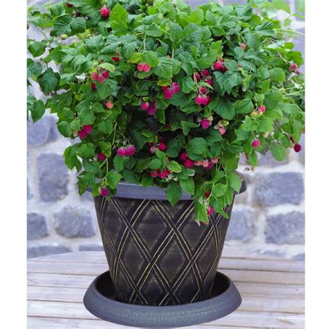 grow raspberries in a pot thompson and morgan raspberry ruby beauty 1 x potted plant patio pot saucer incredicrop