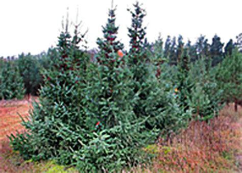 weihnachtsbaum selber schlagen berlin brandenburg my blog