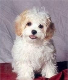 Non Shedding Hypoallergenic Hybrid Dogs by 9 Best Images About Cavachon Puppies On Puppys