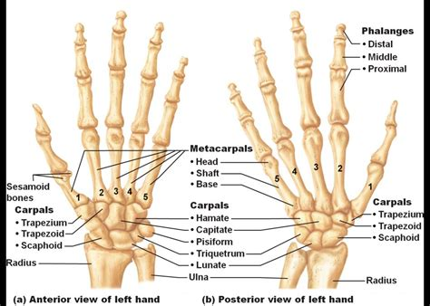 Original images may have been altered in size contrast and labelling. Anatomy Carpal Bones Human Anatomy Lesson Carpals Of The Hand | Anatomy bones, Hand anatomy ...