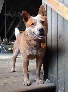 33 best Red Heelers images on Pinterest | Cattle dogs ...