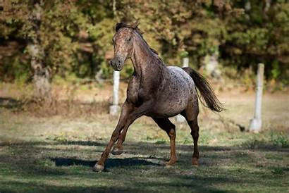 Appaloosa Horse Horses Why Around Incredible Site