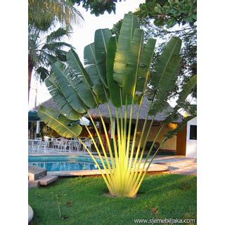 foto palme shop buy seeds ravenala madagascariensis get 36