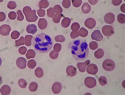 la maison des sciences et définition globule blanc leucocyte futura santé