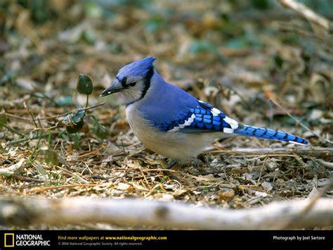 wild life blue jay wallpaper wild birds
