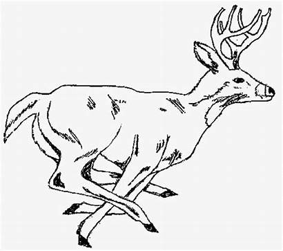 Deer Coloring Pages Hunting Whitetail Adult Drawing