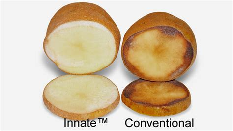 Sustainable potato that resists blight given green light ...