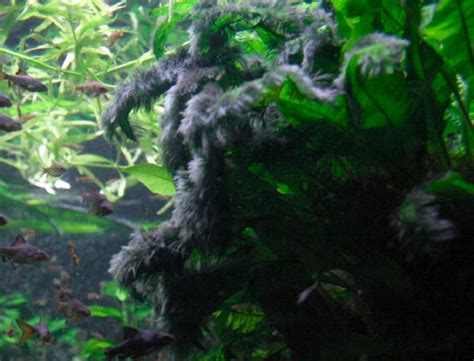 algues noires dans mon aquarium 28 images probl 232 me d algue sur mes plante produits anti