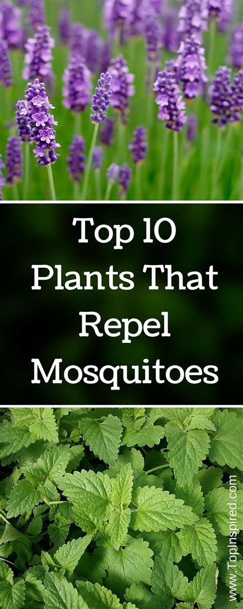 top  plants  repel mosquitoes mosquito repelling