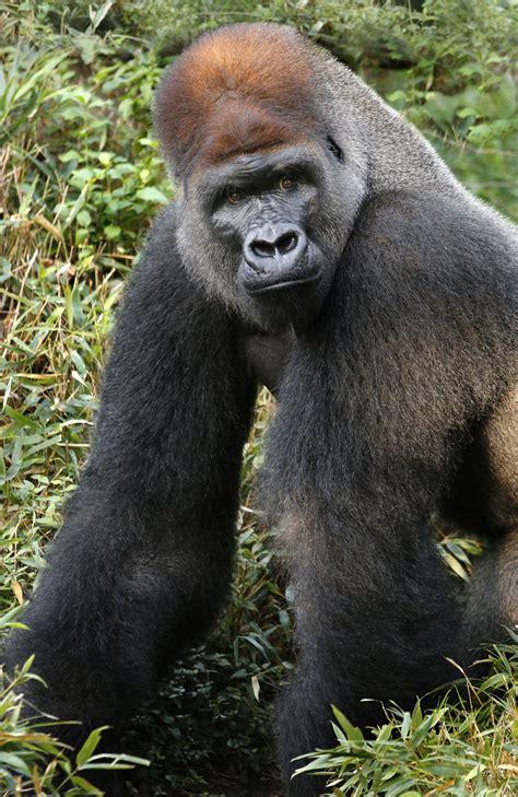gorilla gorillas silverback silver dallas troop zoohoo subira incredible