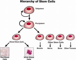 The Chemistry Of Tissue Engineering  Stem Cells And Tissue Engineering